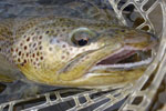 Brown Trout Fly Fishing, Madison River
